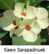 Euphorbia millii - Kaew Sarapad Nuek  Click to see full-size image