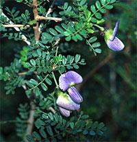Ormocarpum trichocarpum - seeds  Click to see full-size image