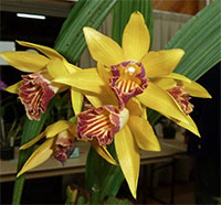 Phaius tankervilleae x maculata - Joan Heart Goldie Chinese Ground Orchid