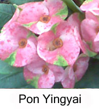 Euphorbia millii - Pon Yingyai