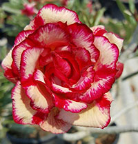 Adenium Scarlet Gold (4935), Grafted  Click to see full-size image