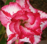Adenium Big Harry, Grafted  Click to see full-size image