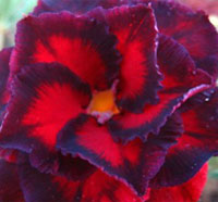 Adenium Black Bird, Grafted  Click to see full-size image