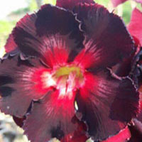 Adenium Black Mamba (Black Boy), Grafted  Click to see full-size image