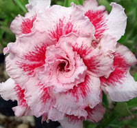 Adenium Bo Tun, Grafted  Click to see full-size image