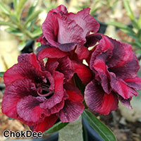 Adenium Chok Dee, Grafted  Click to see full-size image