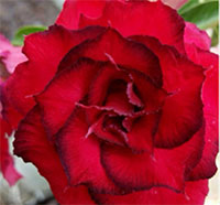 Adenium Dang Sab Mongkol, GraftedClick to see full-size image