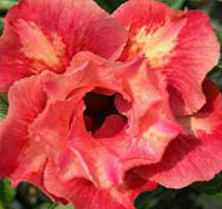 Adenium Fairy Rose, Grafted  Click to see full-size image