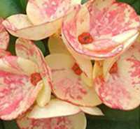 Euphorbia millii - Golden BellClick to see full-size image