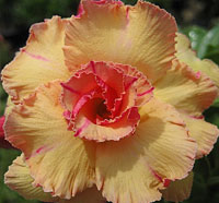 Adenium Golden Budha, Grafted  Click to see full-size image