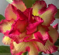 Adenium Golden Profit, Grafted  Click to see full-size image