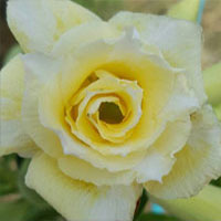 Adenium Golden Snow, Grafted  Click to see full-size image