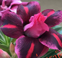 Adenium King of Purple, Grafted  Click to see full-size image