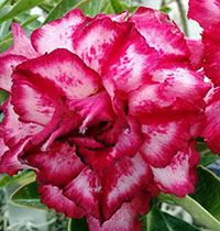 Adenium Maya, Grafted