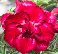 Adenium Supermaharach, Grafted  Click to see full-size image