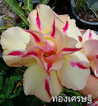 Adenium Thong Sedthee, Grafted  Click to see full-size image