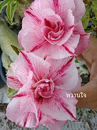 Adenium Wan Jai, Grafted  Click to see full-size image