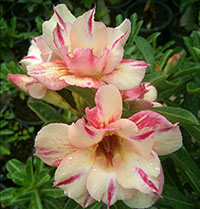 Adenium Yellow Star, Grafted  Click to see full-size image