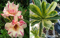 Adenium Yellow Variegated, Grafted  Click to see full-size image