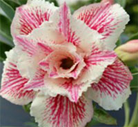Adenium Sai Fah, Grafted  Click to see full-size image