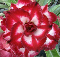 Adenium Chai Lai, Grafted