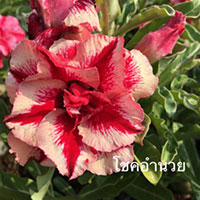 Adenium Chok Am Nuay, Grafted  Click to see full-size image