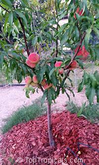 Prunus persica, Amygdalus persica, PeachClick to see full-size image