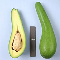 Persea americana - Avocado Russel, Grafted  Click to see full-size image