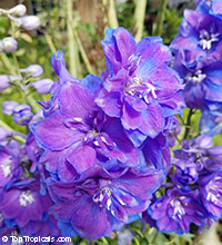 Delphinium sp., Larkspur, Knight's Spur  Click to see full-size image
