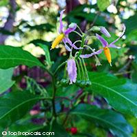 Solanum bahamense, Bahama nightshade  Click to see full-size image