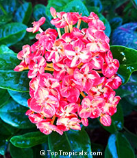 Ixora x chinensis - Strawberry Sundae  Click to see full-size image