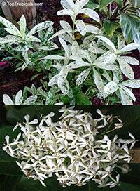 Ixora variegata Thai Snow  Click to see full-size image