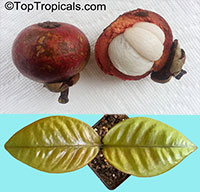 Garcinia mangostana - Mangosteen (with express shipping)