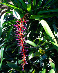 Billbergia virdifolia - seeds  Click to see full-size image
