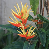 Heliconia aurantiaca - seedsClick to see full-size image