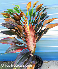 Cordyline terminalis Singapore Twist (Show Girl)  Click to see full-size image