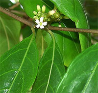 Morinda royoc - seeds  Click to see full-size image