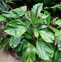 Reihardtia simplex - seedsClick to see full-size image
