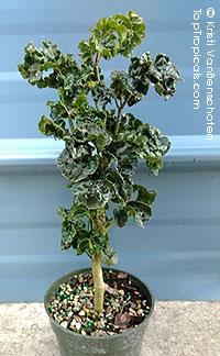 Polyscias guilfoylei - Geranium Black Aralia  Click to see full-size image