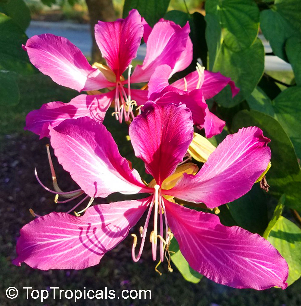 Toptropicals Rare Plants For Home And Garden