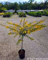 Senna polyphylla - Bahamas Cassia, Desert Cassia  Click to see full-size image