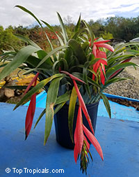 Billbergia windii (nutans) - Bromeliad Queen of Tears, Friendship Plant  Click to see full-size image