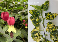 Abutilon megapotamicum variegata - Variegated Brazilian Bell-flower