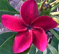 Plumeria Kammayee, grafted  Click to see full-size image