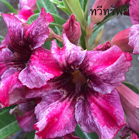 Adenium Moung Taweesab Purple, Grafted  Click to see full-size image