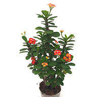 Euphorbia millii Mini - Bushy Orange  Click to see full-size image