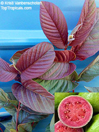 Psidium guajava Red Malaysian - seeds  Click to see full-size image