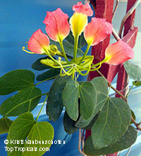 Bauhinia madagascariensis, Red Butterfly Orchid Tree  Click to see full-size image