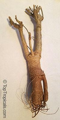 Adansonia digitata, Baobab, Cream of Tartar tree, Monkey-bread tree, Lemonade tree, Upside-down Tree  Click to see full-size image
