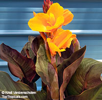 Canna Chocolate Sunset
